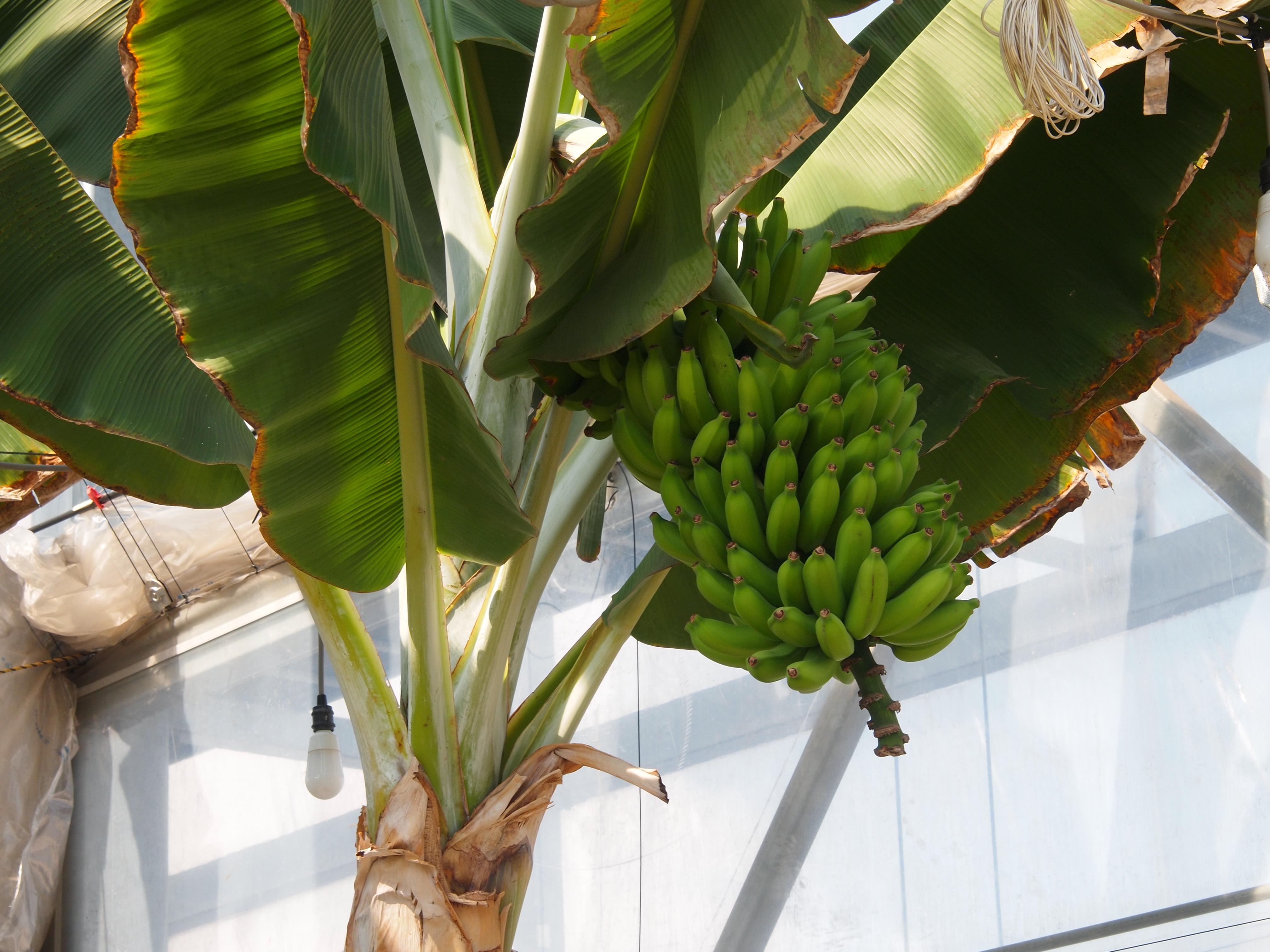 バナナ/台湾バナナ