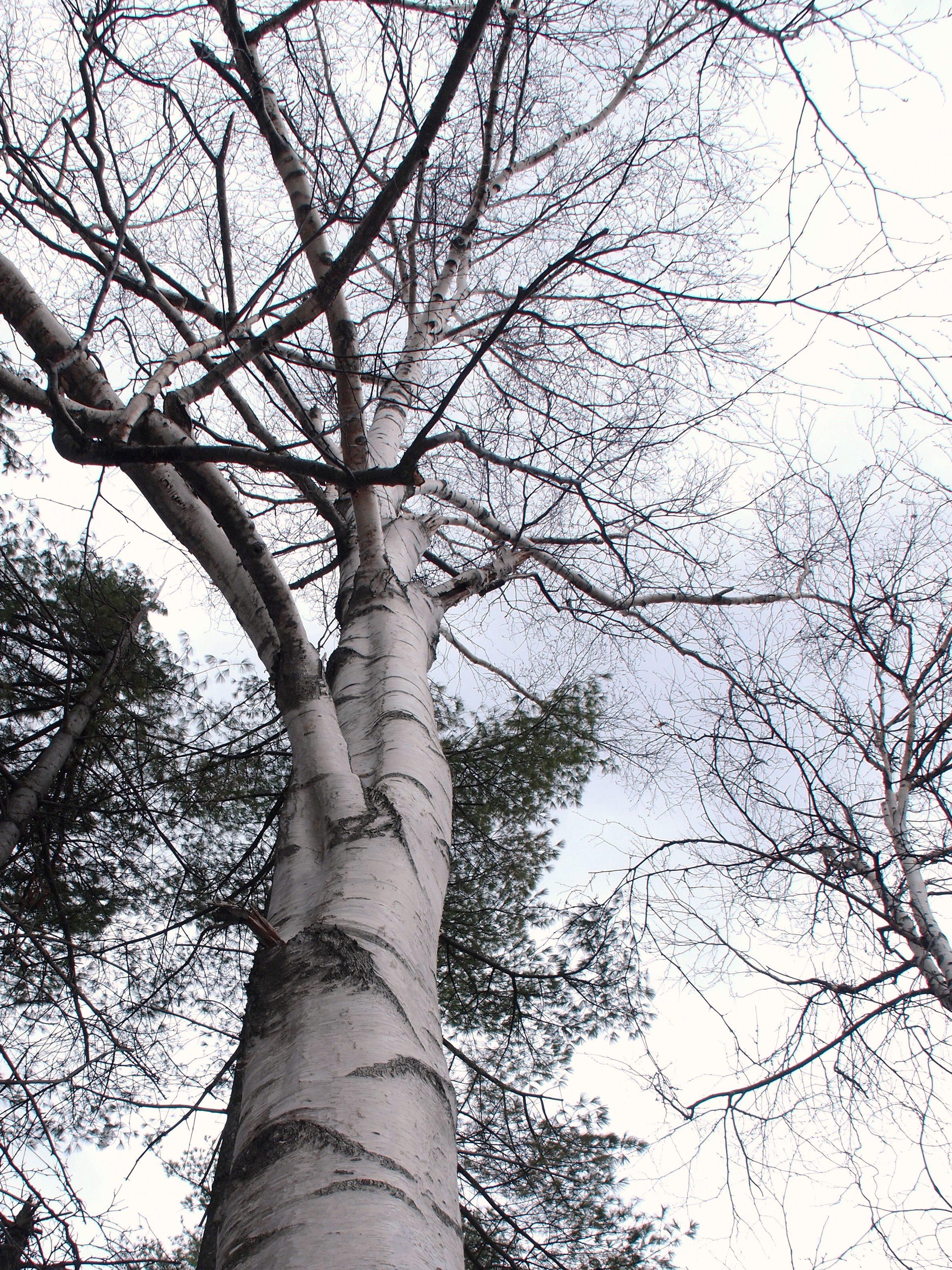 白樺樹液採取体験