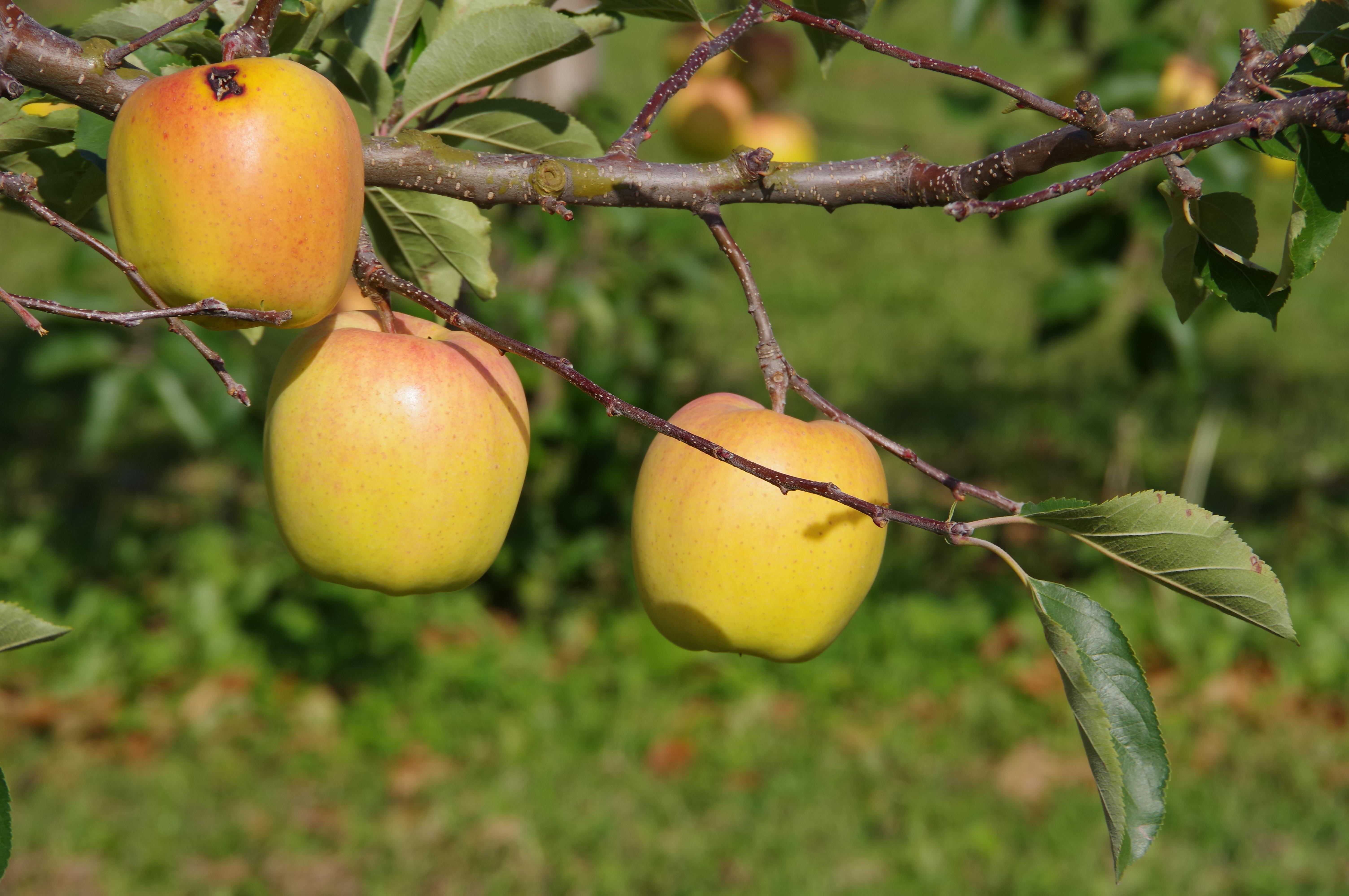 リンゴ/静香