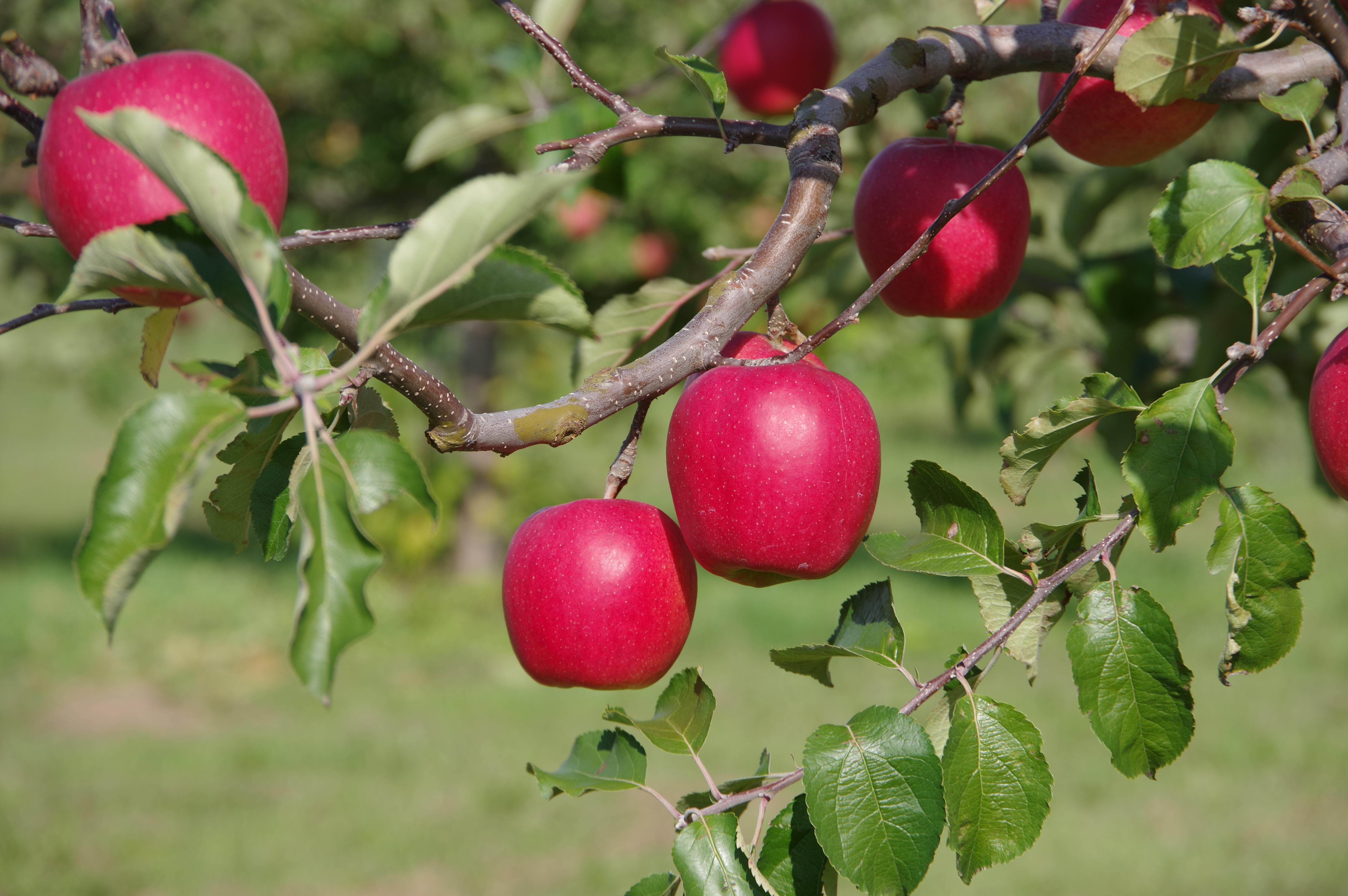 リンゴ/ニュージョナゴールド