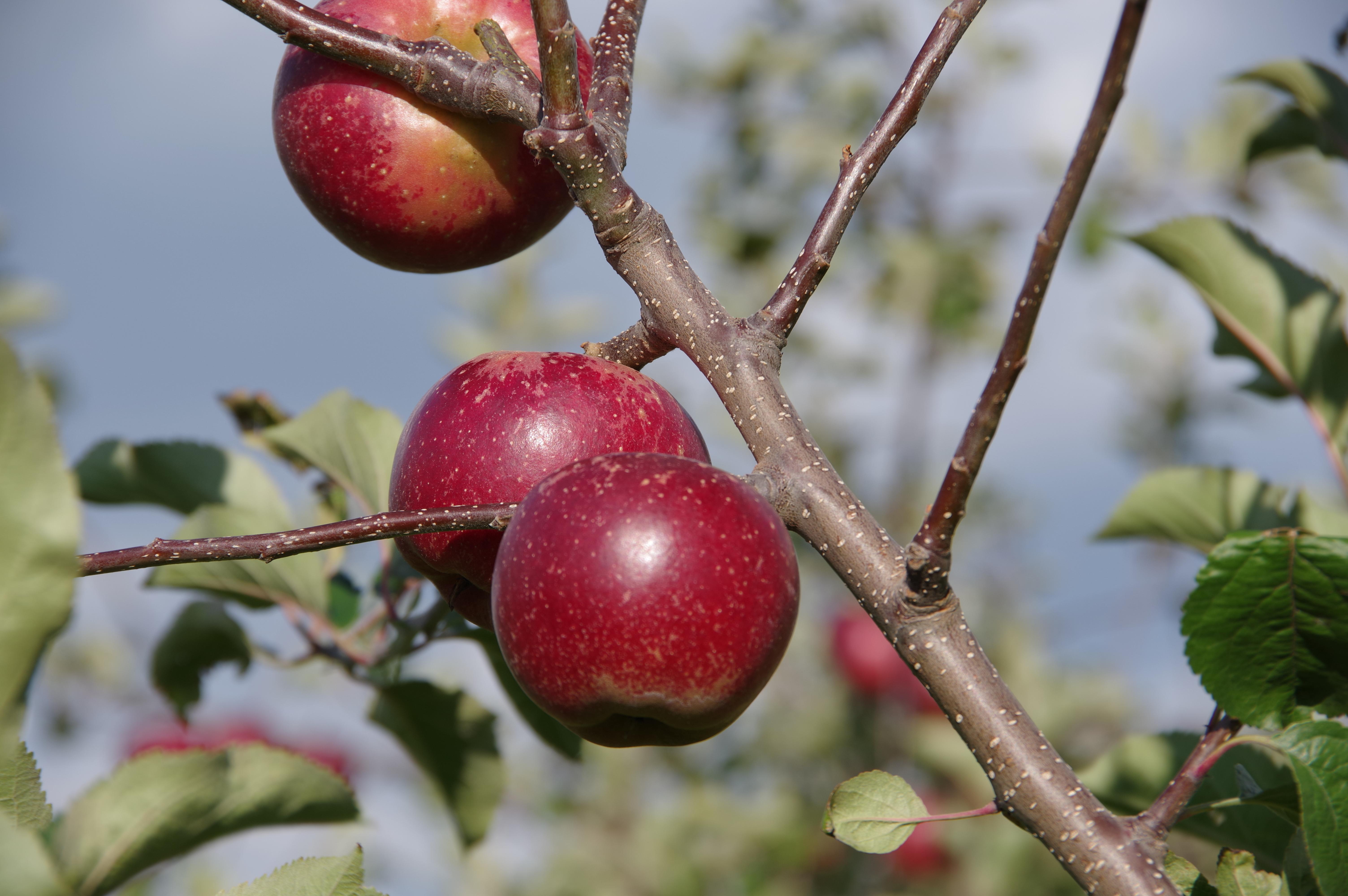 リンゴ/秋映