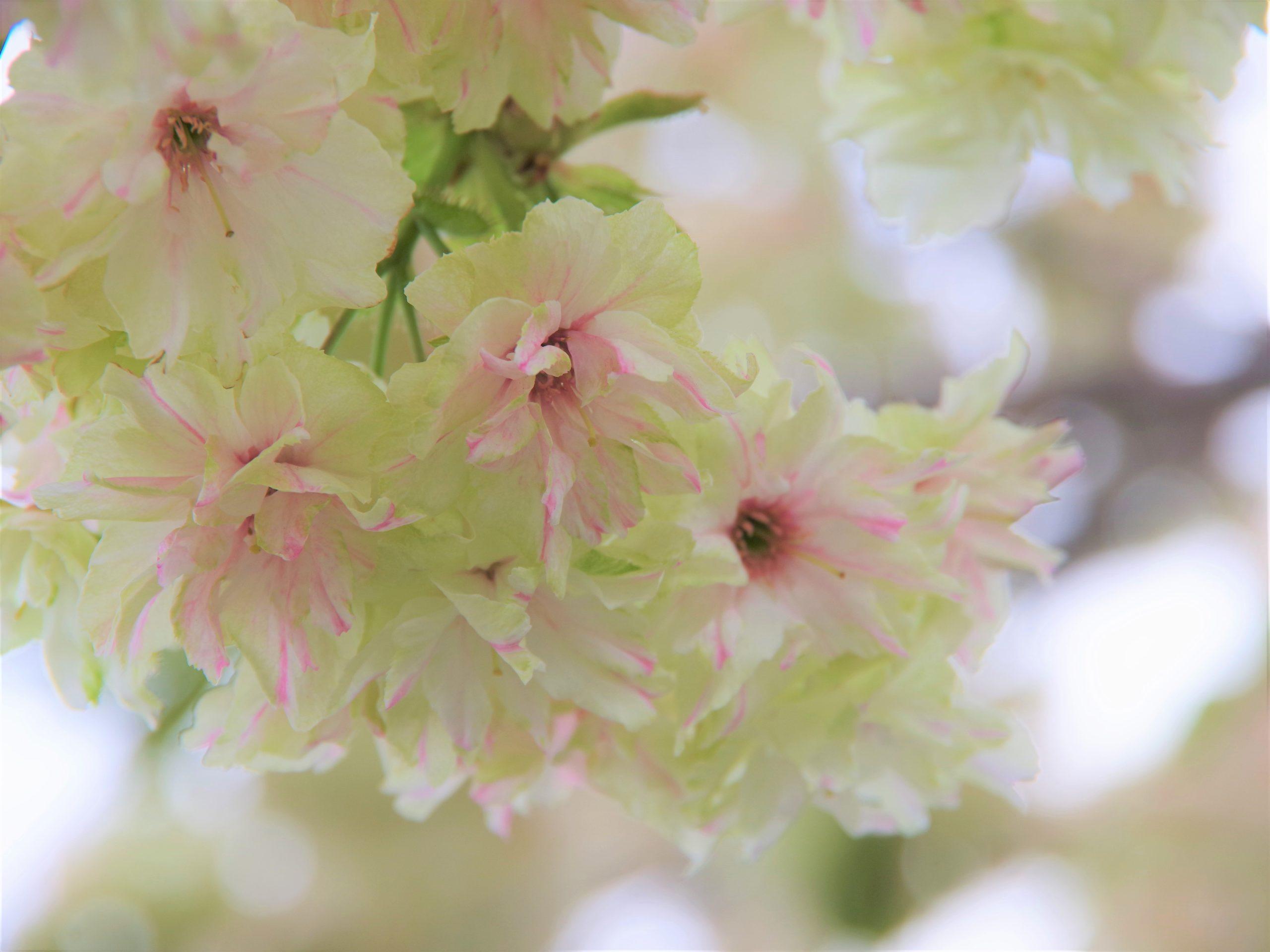 緑色の桜「御衣黄」をご存じですか?