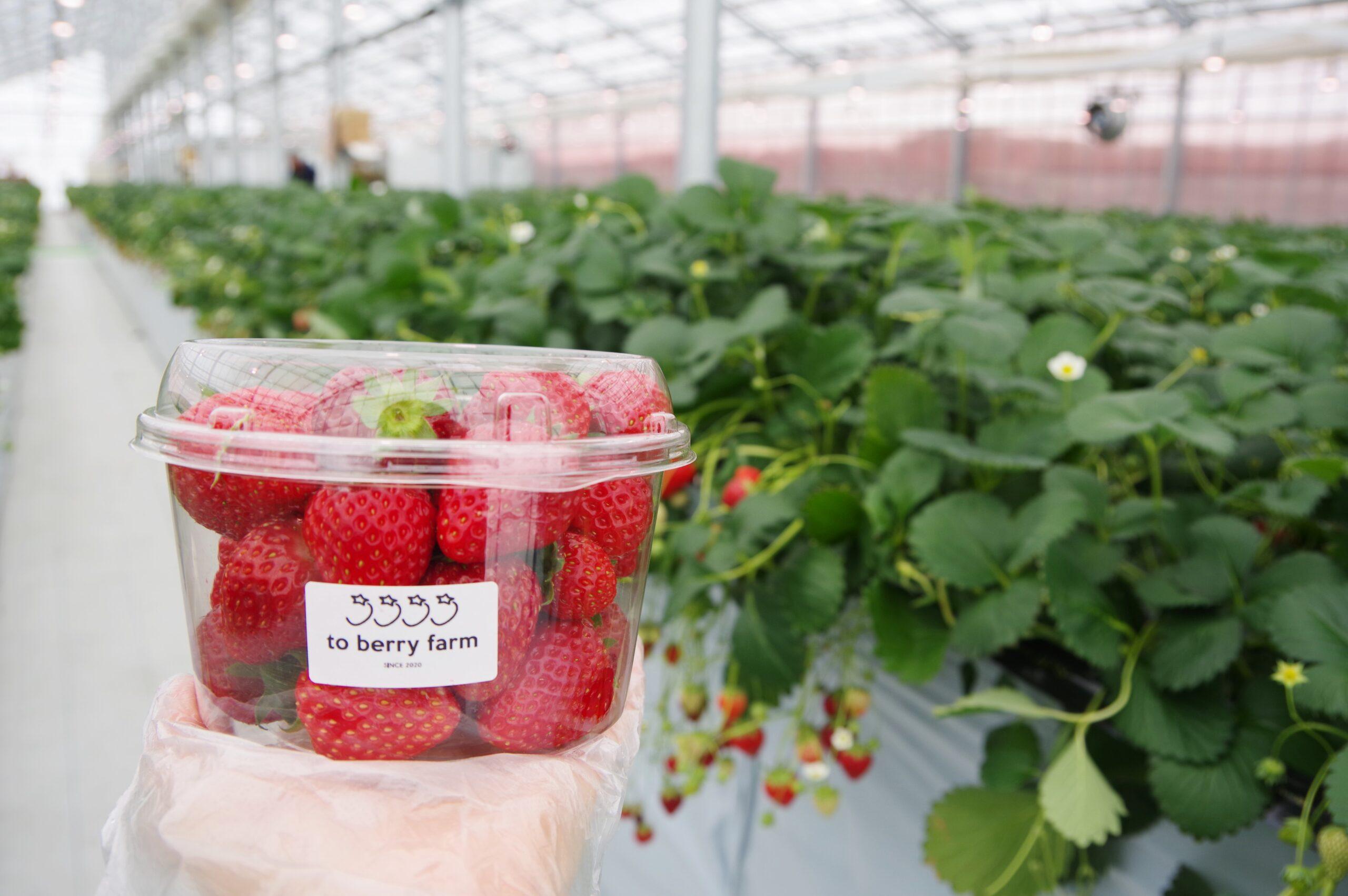 「to berry farm」@当別~甘いイチゴ狩りと先進農業~
