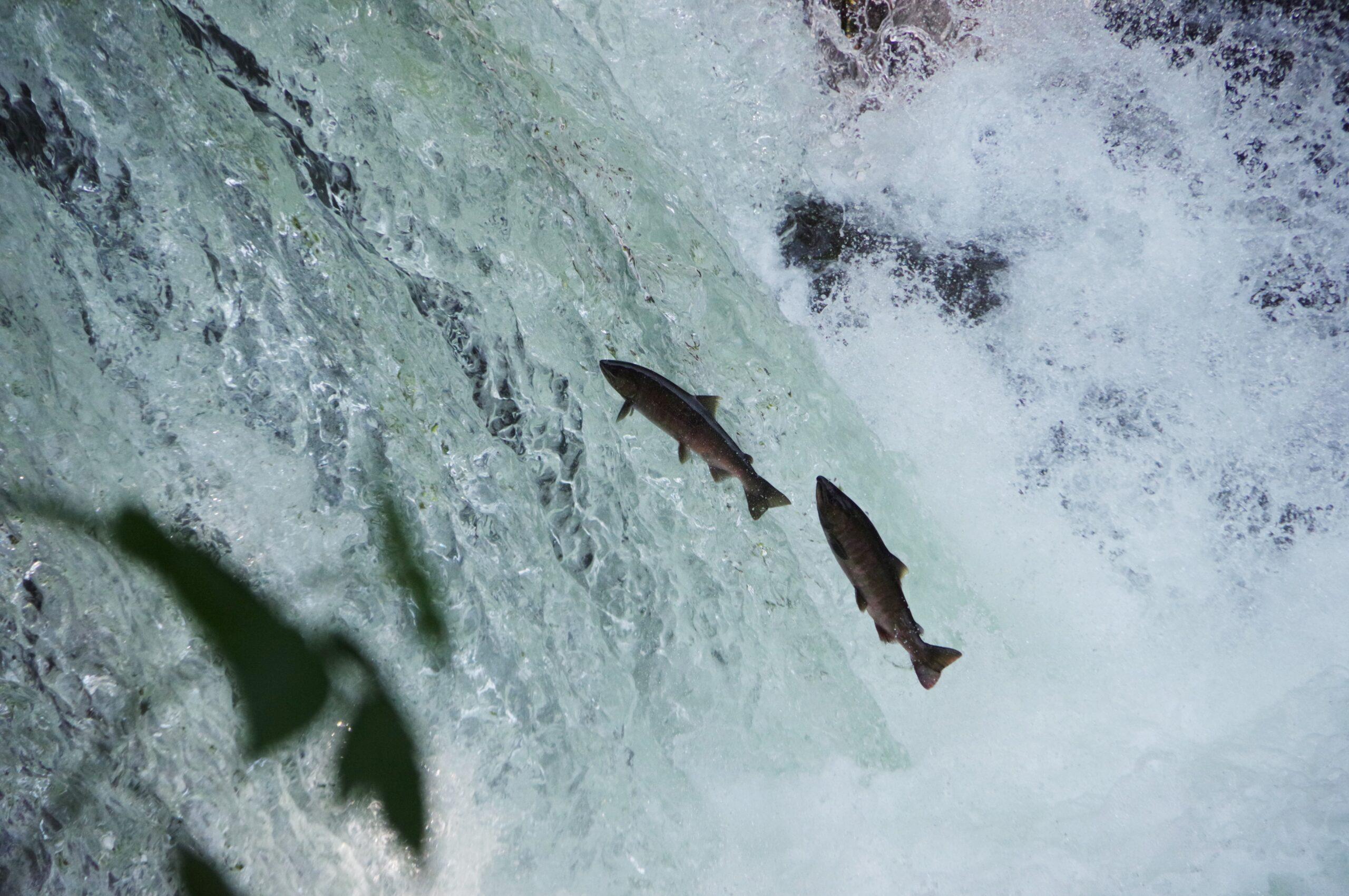 撮って食べて釣って~サクラマス・ヤマメを味わい尽くす旅~@清里町さくらの滝、斜里町、鹿追町