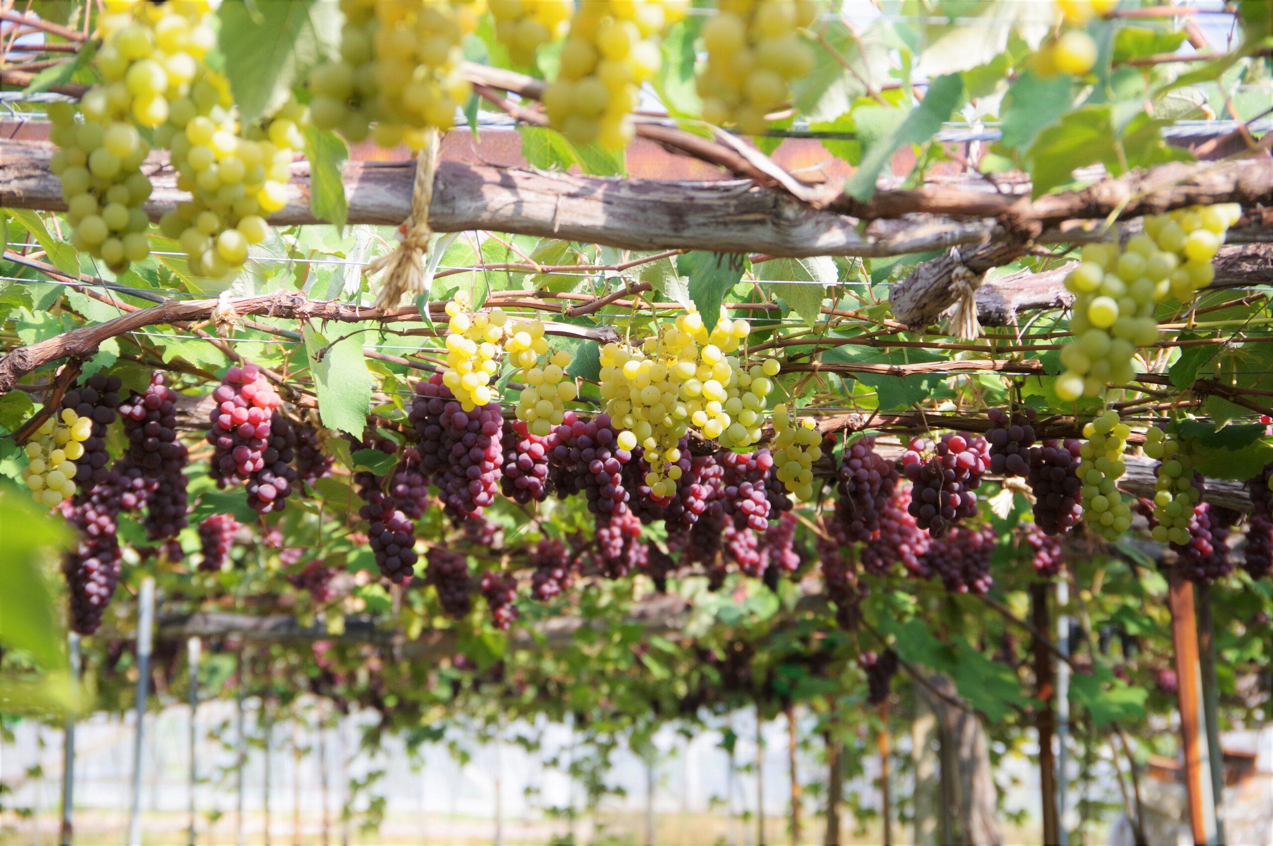 タカシナ観光果樹園@壮瞥町そうべつくだもの村~大満足のブドウ狩り~